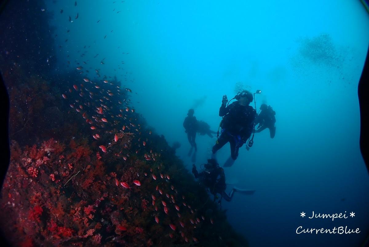 熱海ダイビングおすすめソフトコーラル美しいサクラダイ (53)