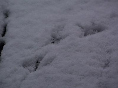 201231 キジバトの足跡
