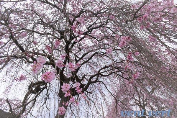雨のお花見2