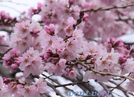 雨のお花見7