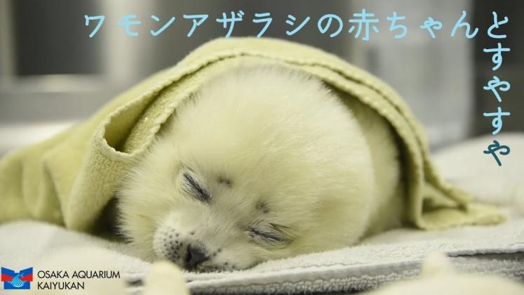 海遊館ワモンアザラシ赤ちゃん
