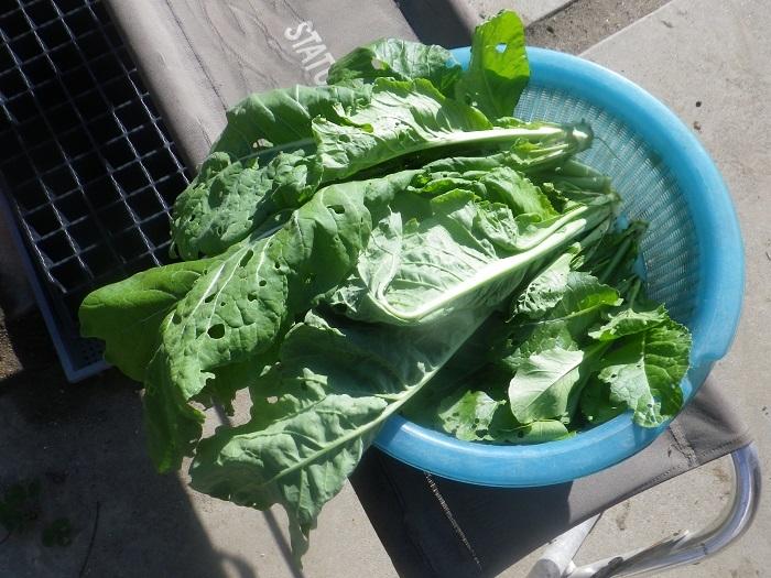 サラダ菜5_20_11_21