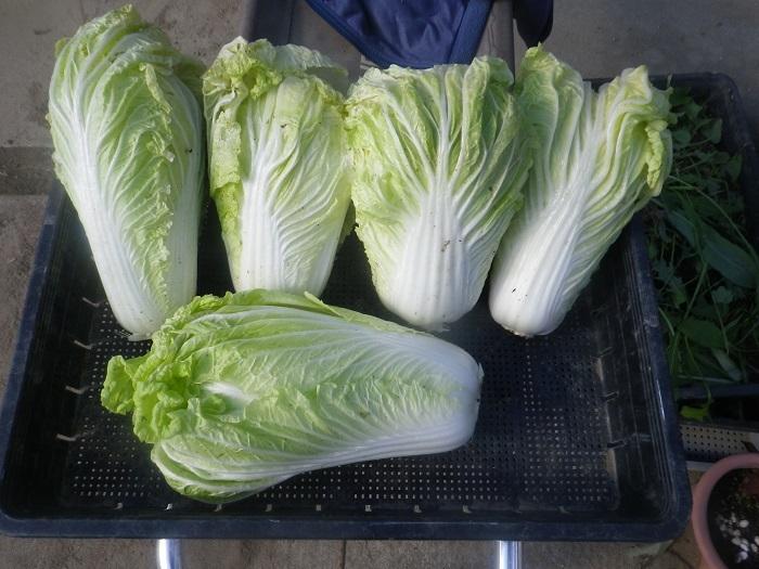 白菜1_20_12_20