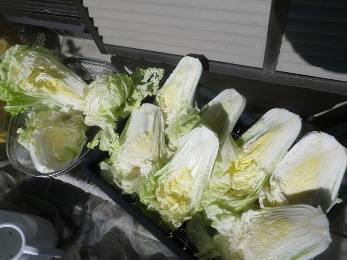白菜2_20_12_20