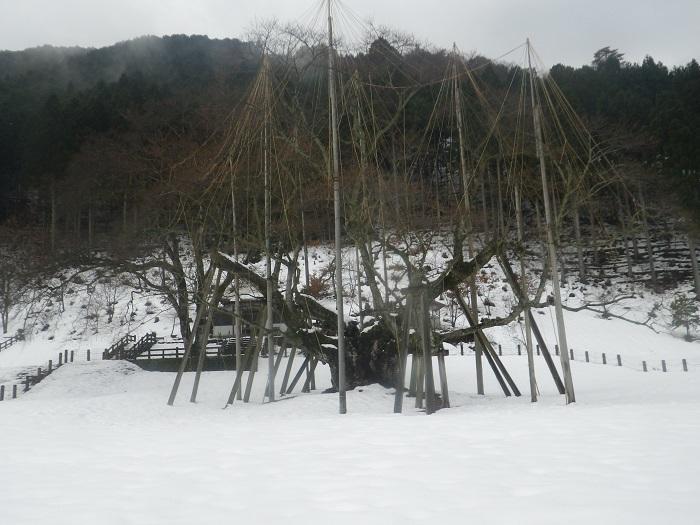 淡墨桜2_20_12_23