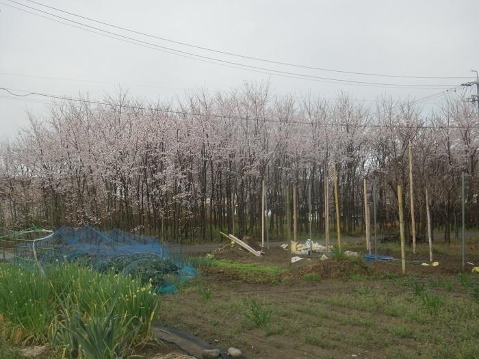 桜21_03_29
