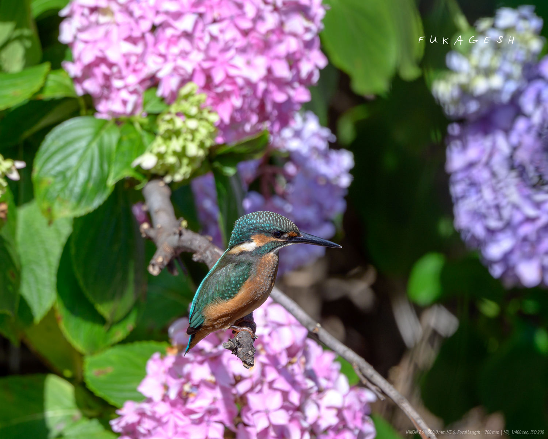 紫陽花とカワセミ