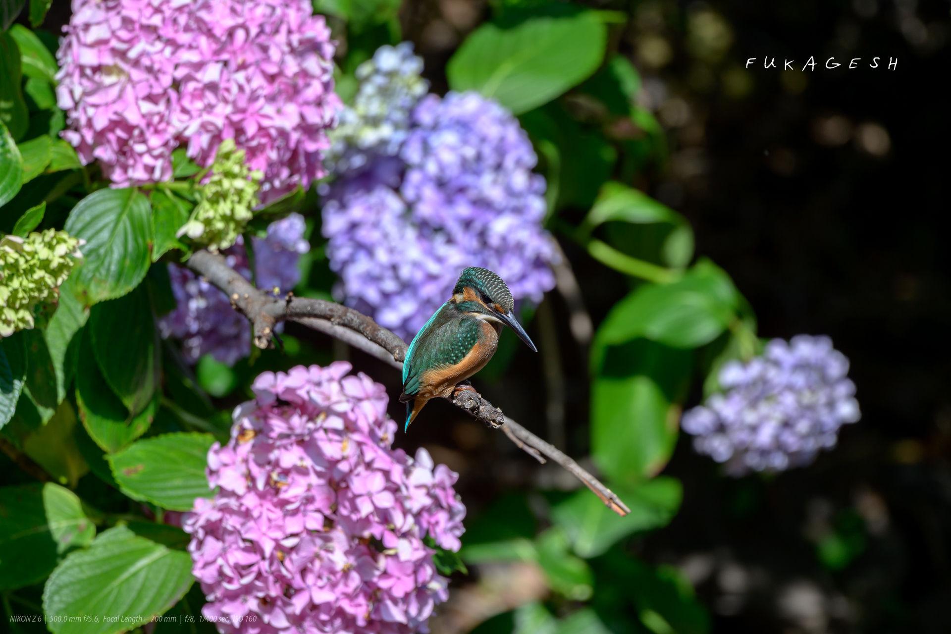 紫陽花にカワセミ幼鳥
