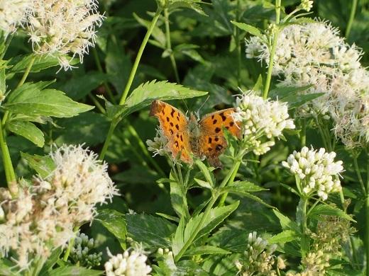 オレンジ色の蝶