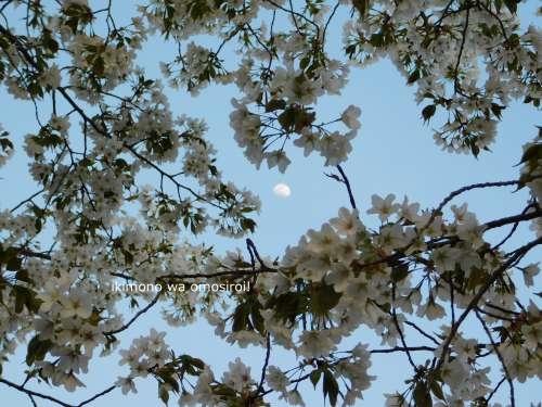 黄昏の大島桜と月
