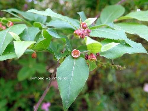 Vaccinium oldhamii