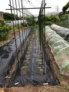 トマト苗やっと植えた雨の中2