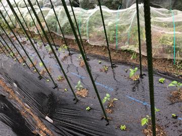 トマト苗やっと植えた雨の中4