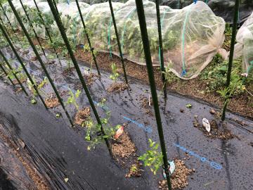 トマト苗やっと植えた雨の中5