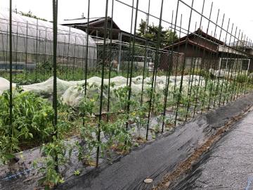 トマト苗やっと植えた雨の中6