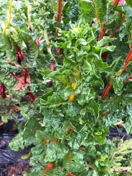 雨、落花生種蒔き4