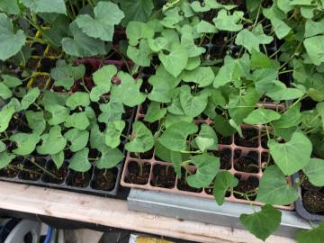 ナス、パプリカ植え、インゲン、ニラも5