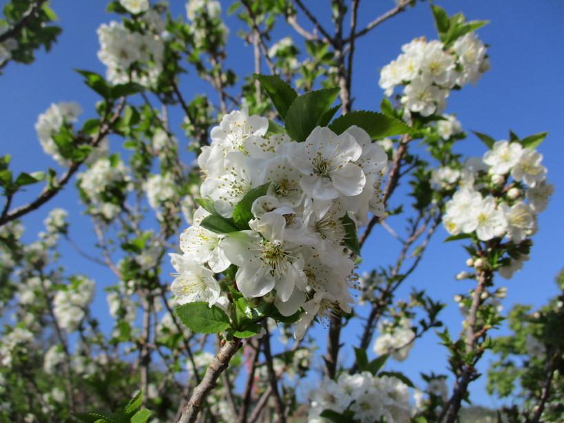 fiori_di_amarena4_210331
