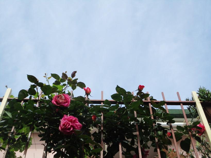 rosa_rosa2_210505
