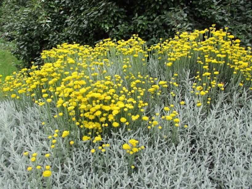 fiori_gialli_in_passeggiata3_210605