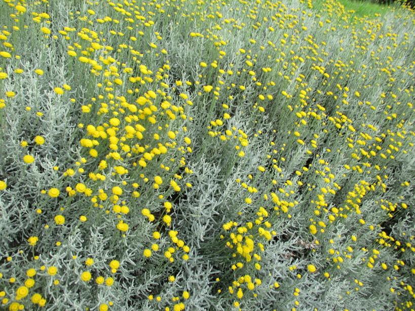 fiori_gialli_in_passeggiata4_210605