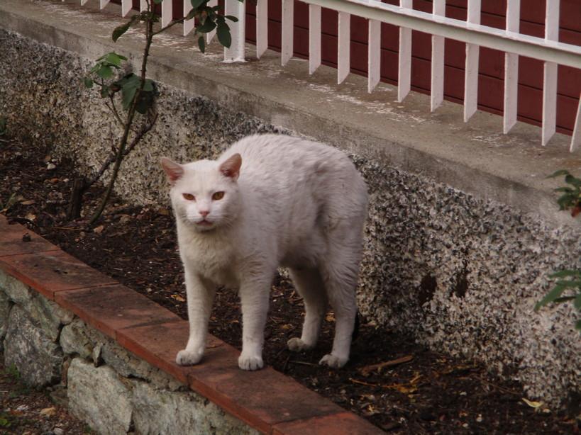 gatto_bianco2_210910