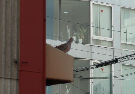 愛知県 鳩