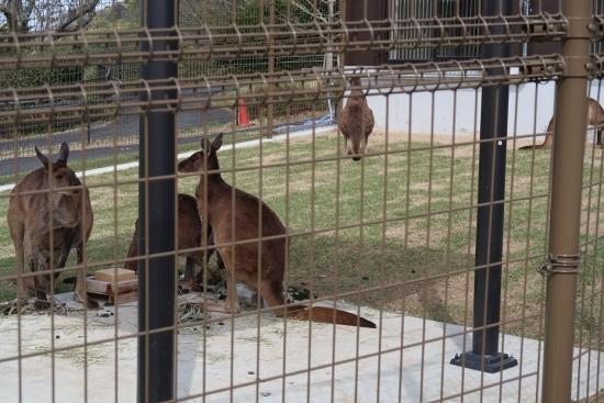 浜松市動物園 クロカンガルー