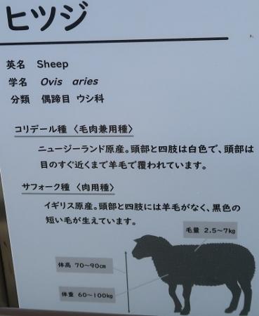 浜松市動物園 ヒツジ