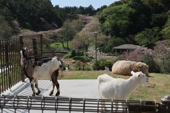 浜松市動物園 ヤギとヒツジ