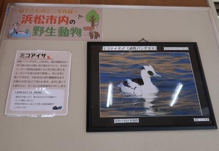 浜松市動物園 ミニ写真展 ミコアイサ