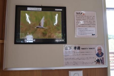 浜松市動物園 ミニ写真展 ツバメ白化個体