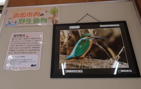 浜松市動物園 ミニ写真展 カワセミ