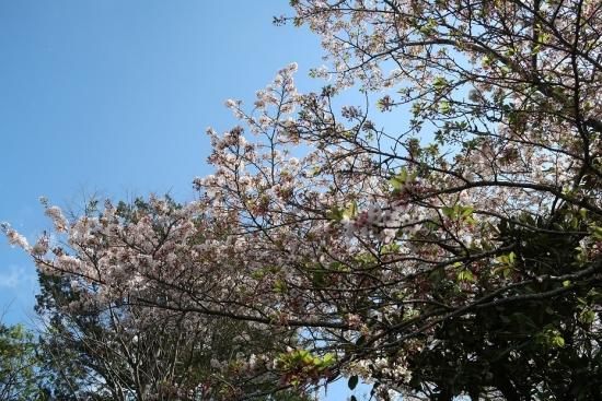 浜松市動物園 桜