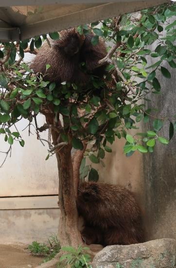 浜松市動物園 カナダヤマアラシ