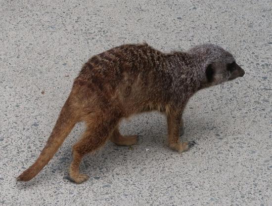 浜松市動物園 ミーアキャット
