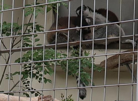 浜松市動物園 ワオキツネザル