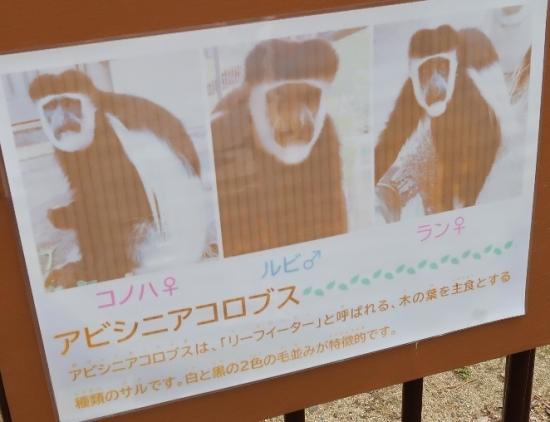 浜松市動物園 アビシニアコロブス
