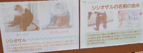 浜松市動物園 シシオザル