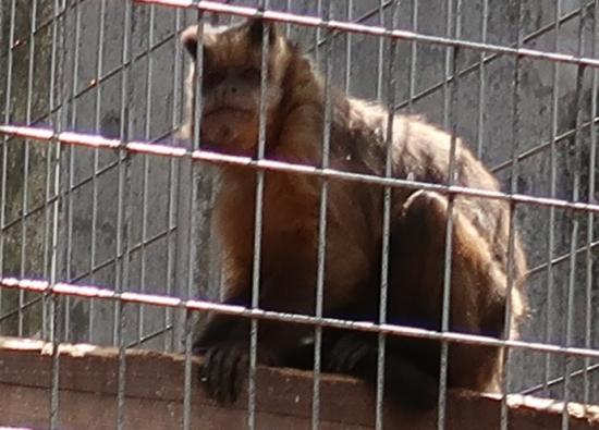 浜松市動物園 フサオマキザル