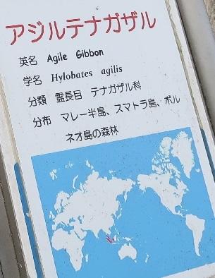 浜松市動物園 アジルテナガザル