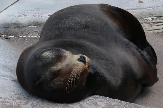 浜松市動物園 カリフォルニアアシカ