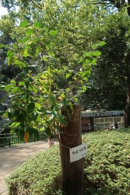 浜松市動物園 ヤブツバキ