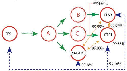 ため息ABC細胞図