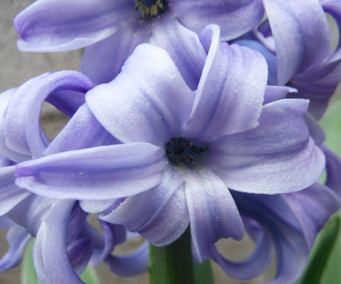 Hyacinthus-Delft_Blue2-2020.jpg