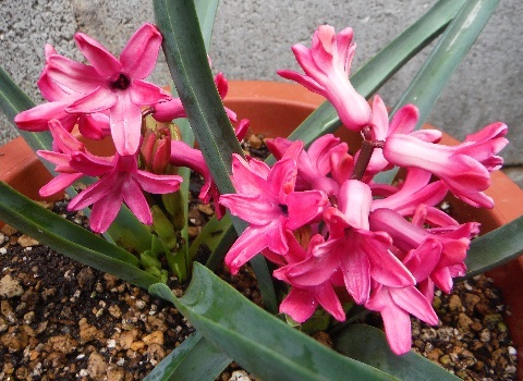 Hyacinthus-Red1-2020.jpg