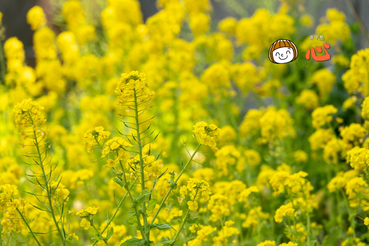 0228菜の花