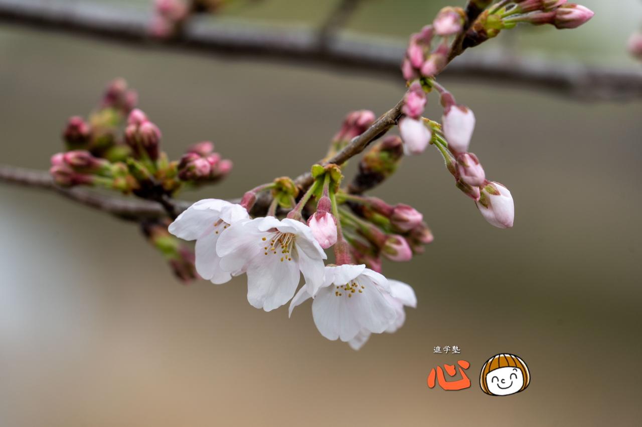 0325桜①