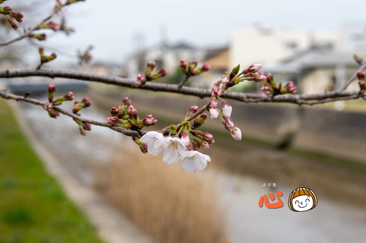 0325桜②