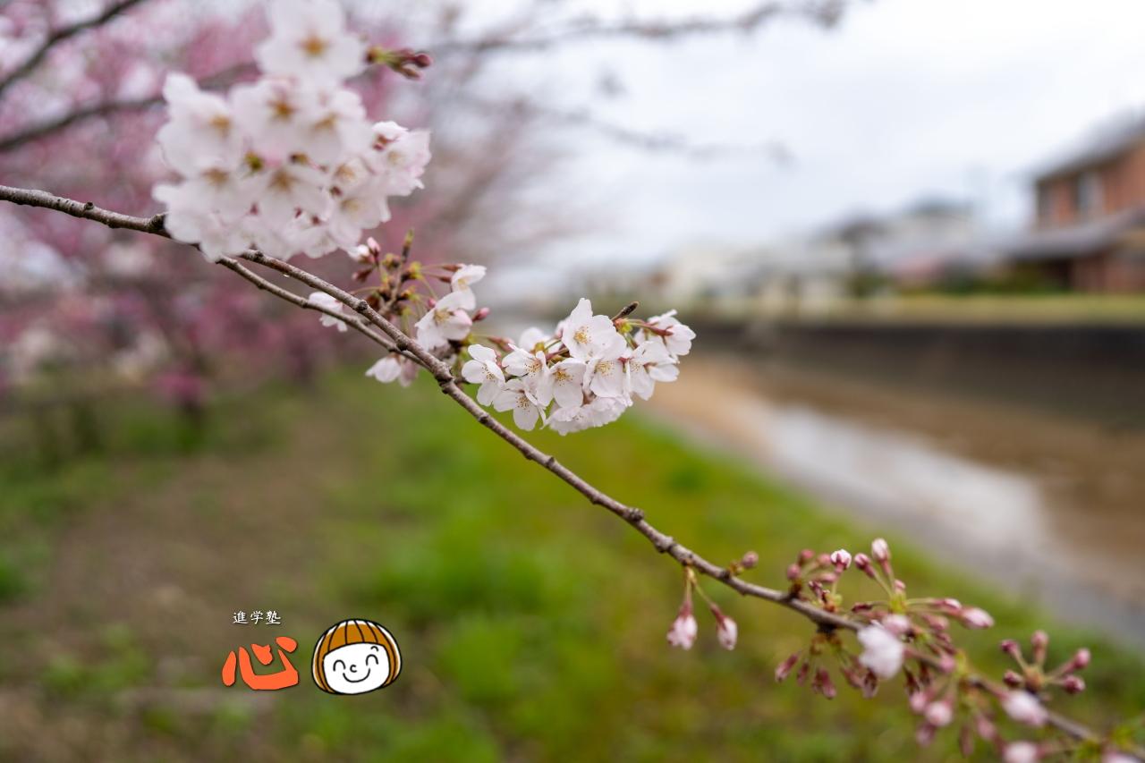0329作桜